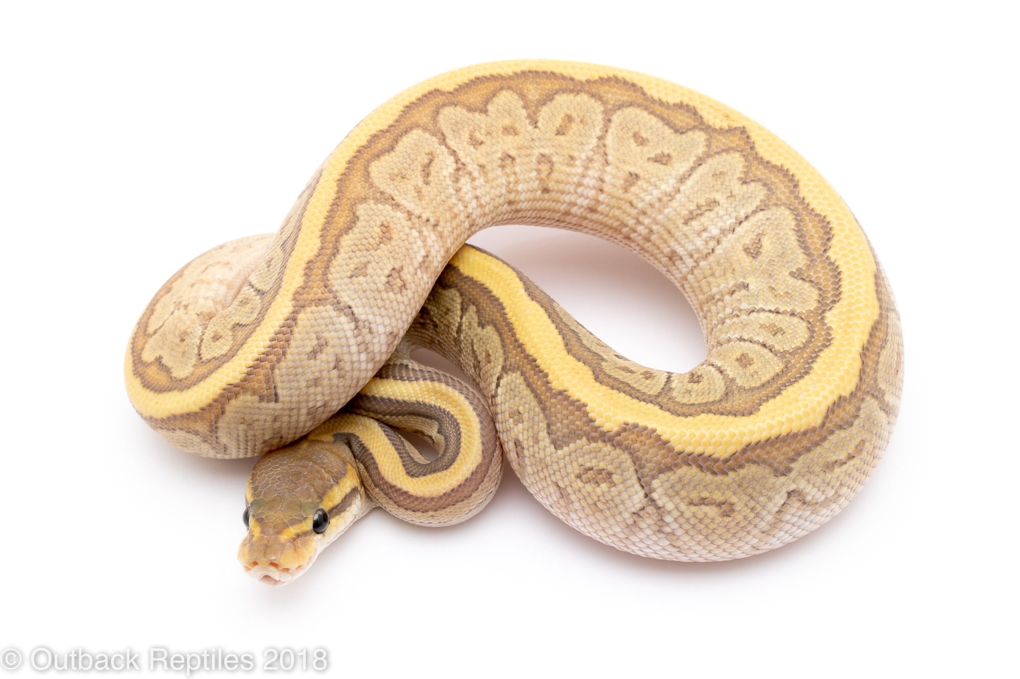 ghost mojave pinstripe ball python for sale