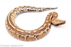 k marter blood python for sale