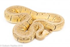 killer blast ball python for sale