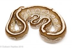lesser ball python for sale