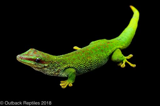 mad mad day gecko