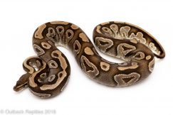 mojave ball python for sale