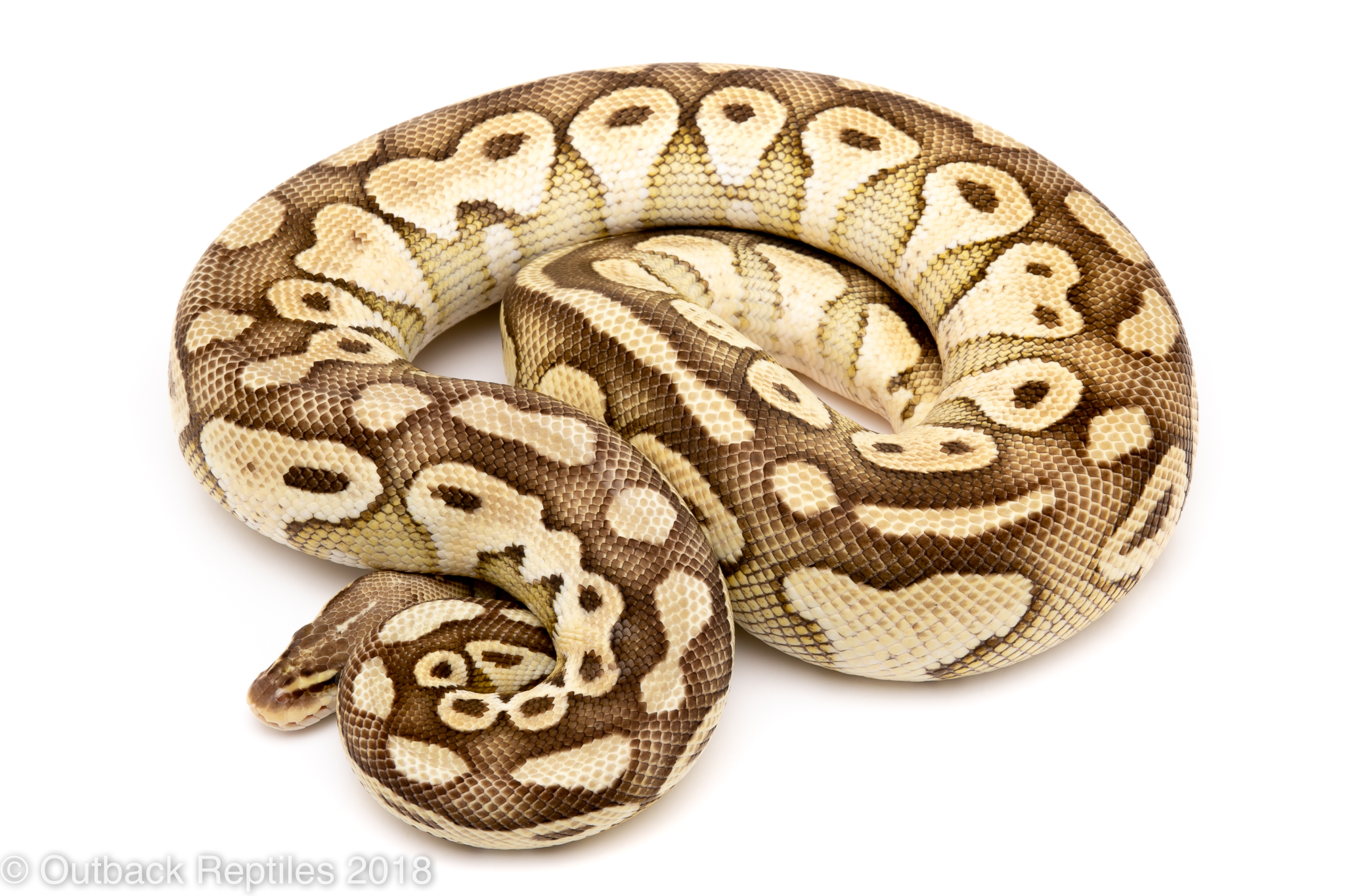 pastel butter ball python for sale