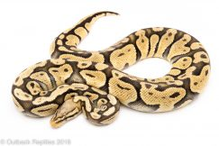 pastel ghost ball python for sale