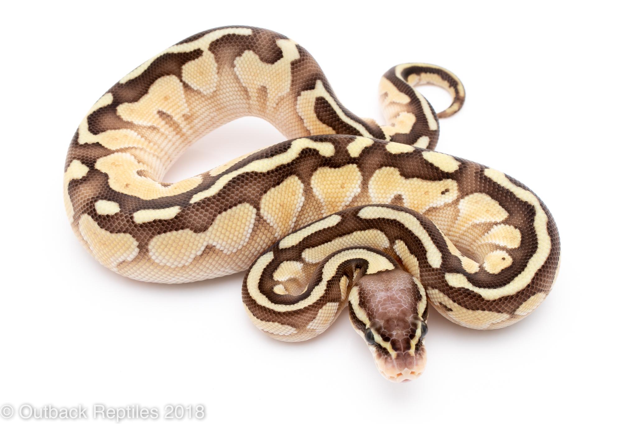 pastel lesser ball python for sale