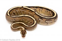 super stripe ball python for sale