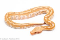 t positive matrix blood python for sale