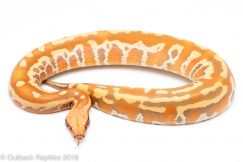 t-positive albino blood python for sale