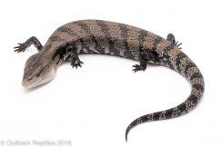 merauke blue tongue skink for sale