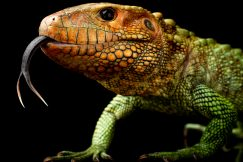 caiman lizard for sale