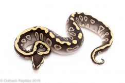 GHI Mojave Ball Python for sale