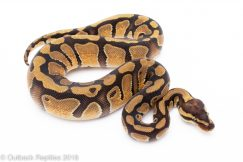 orange dream enchi het clown Ball Python for sale