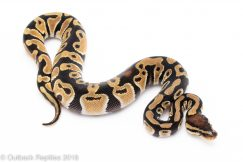 Orange dream het clown Ball Python for sale