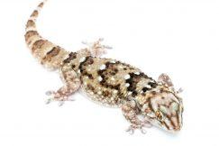 Pachydactylus laevigatus gecko for sale