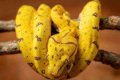 aru green tree python for sale