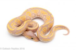banana mocha ball python for sale
