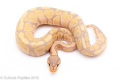 banana ph clown female ball python for sale