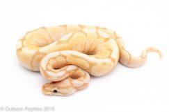 female banana spider ball python for sale