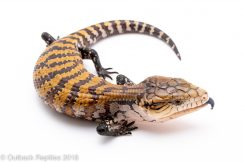 aru blue tongue skink for sale