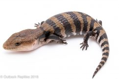 irian jaya blue tongue skink for sale