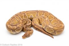 caramel ball python for sale