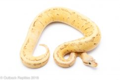 dragon scream ball python for sale