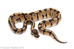 enchi het VPI axanthic ball python for sale