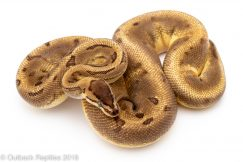 enchi pinstripe pied ball python for sale