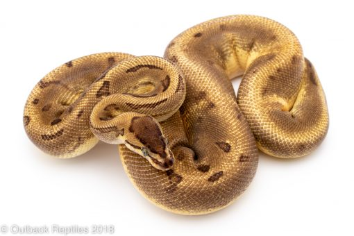 enchi pinstripe pied ball python for sale
