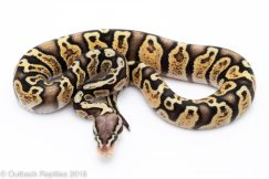 pastel ghi ball python for sale