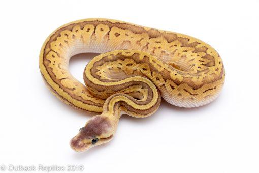 pastel jigsaw ball python for sale