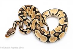 pastel lace Ball Python for sale