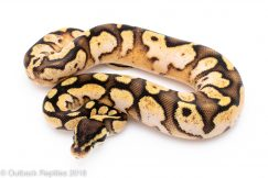pastel sugar Ball Python for sale