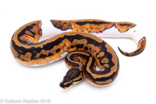 pied ball python for sale