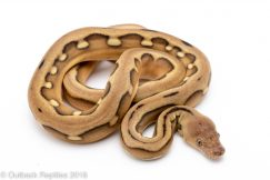 platinum suntiger reticulated python for sale