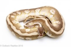 soul sucker ball python for sale