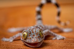 baby tokay gecko for sale