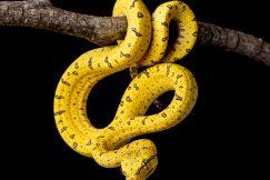 baby Aru green tree python