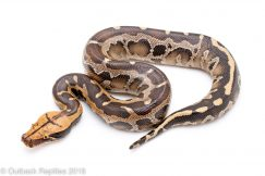 borneo short tail python for sale