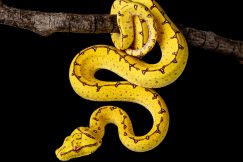 Cyclops green tree python