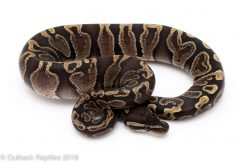 ghi ball python for sale