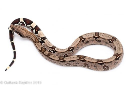 suriname red tail boa for sale