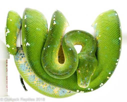 aru green tree python for sale