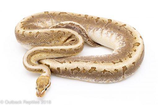 pinstripe bamboo ball python for sale