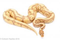 banana lavender albino ball python for sale