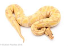 banana pastel enchi ball python for sale