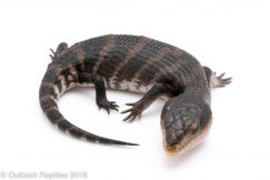 irian jaya blue tongue skink morph
