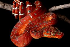 baby emerald tree boa for sale