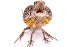 frilled dragon lizard for sale
