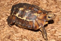 hingeback tortoise for sale